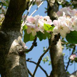 Apple blossom 800px
