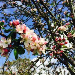 Little_Pomona-blossom_2730-768x581